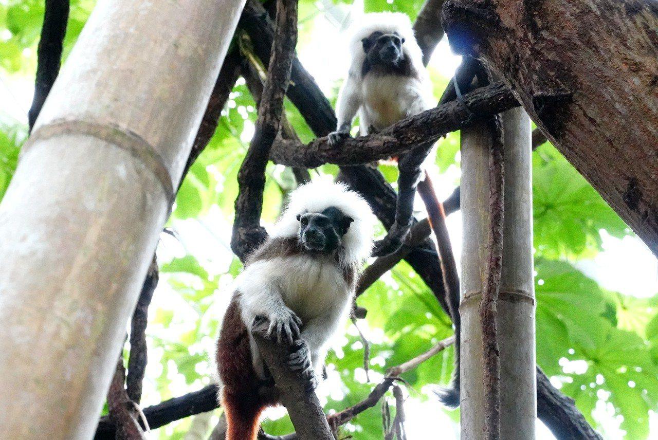 台北市立動物園穿山甲館棉頭絹猴情侶「阿金」(公)與「小白」(母)感情好。圖/台北...