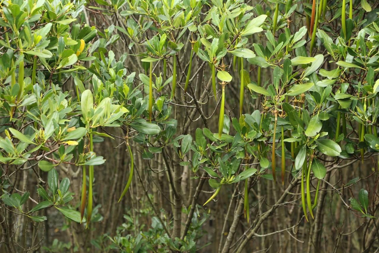 林務局羅東林區管理處轄管全臺最大的水筆仔森林,搭坐捷運後,沿紅樹林木棧步道,即可...