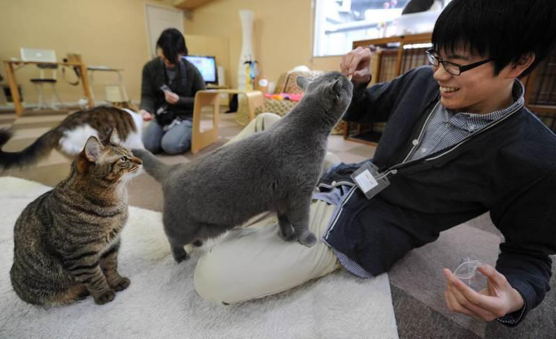 在日本東京、岐阜和大阪經營貓咪中途咖啡廳的公司「貓咪共和國」16日將在大阪開設「貓客棧」。圖為日本貓咪中途咖啡廳示意圖。法新社