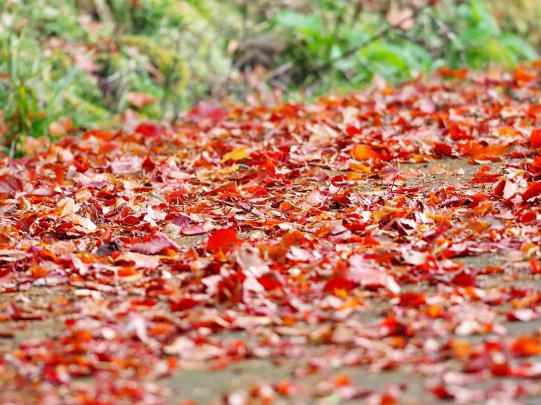 新中橫的紅榨槭楓滿地紅葉,為深秋帶來詩意。圖/印莉敏提供