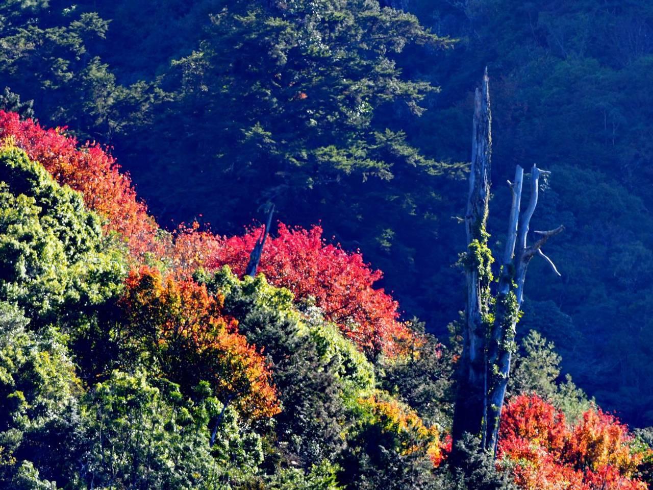 新中橫的紅榨槭楓葉為青翠山巒間染上一抹楓紅,美景如畫。圖/印莉敏提供