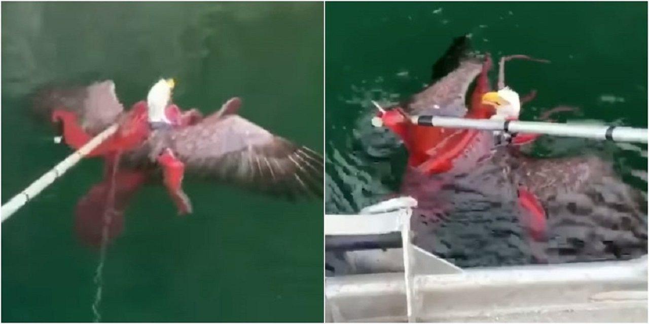 加拿大的一群鮭魚養殖戶9日發現,一隻白頭海鵰被大章魚的觸手給纏住,猶豫片刻後決定...