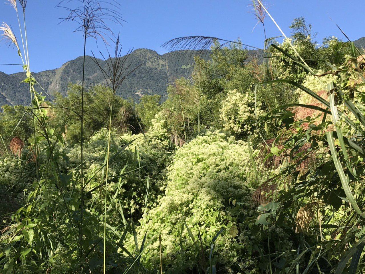 小花蔓澤蘭延樹木攀爬至高處,阻斷其他植物與陽光接觸,進而無法行使光合作用枯萎死。...