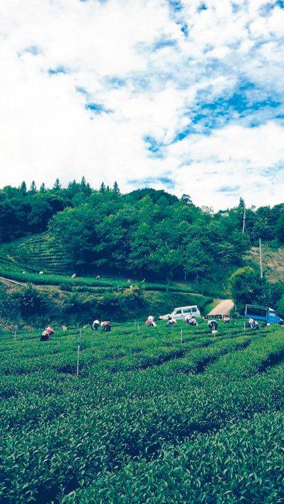 近年氣候變遷,天然災害多,新竹尖石部落農友開始種植高山茶。 圖/江朝西提供
