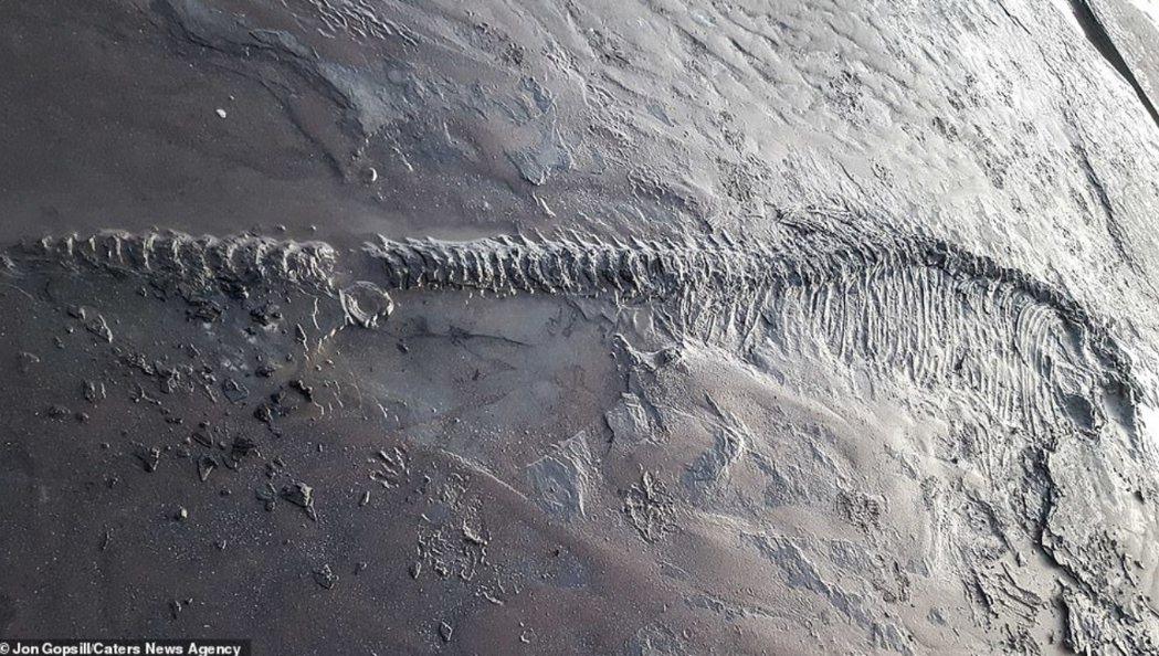 葛普西爾說,他當下就直覺這個發現很特別,明顯是海生物的化石,可能是生存於侏羅紀的...