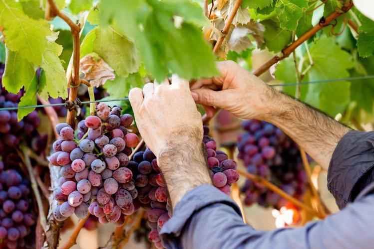 近期小農酒莊帶起「自然酒」風潮。示意圖/ingimage 提供 ※ 提醒您:禁...