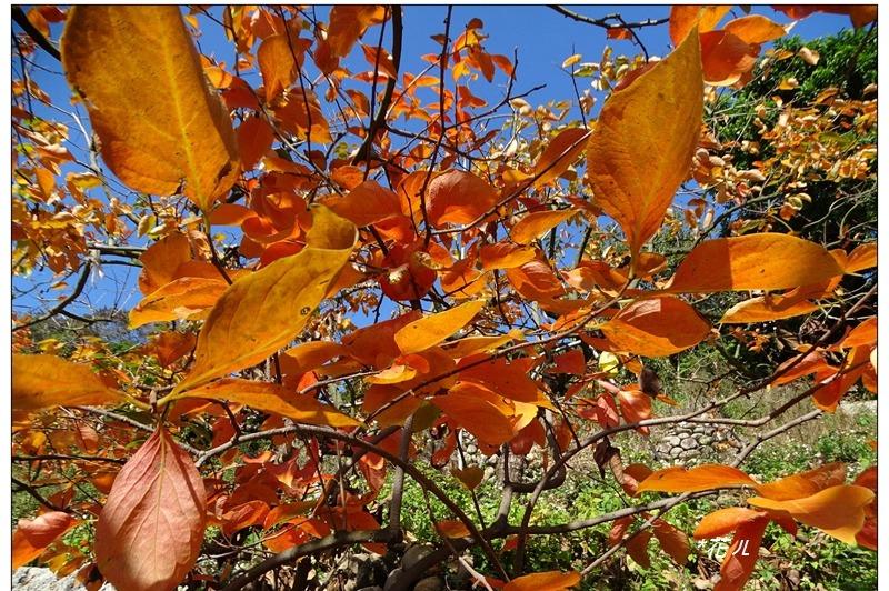 台中豐原/視野極佳的觀景平台,柿葉漸轉橙黃冬陽下醉人