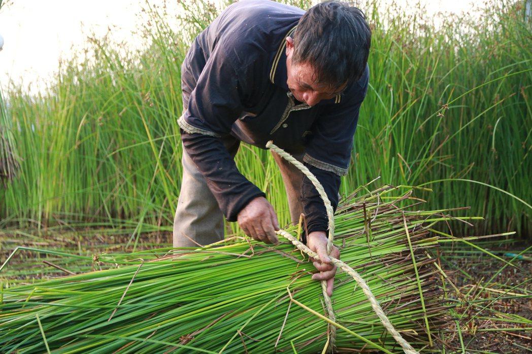 藺草收割常缺工,會做的老人家年紀大,年輕人又不願做辛苦的收割工作。 圖/藺子提供