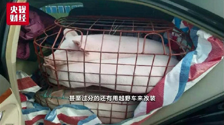 不法商人組成「炒豬團」,連越野車也被拿來裝運毛豬跨省牟利。(央視財經)