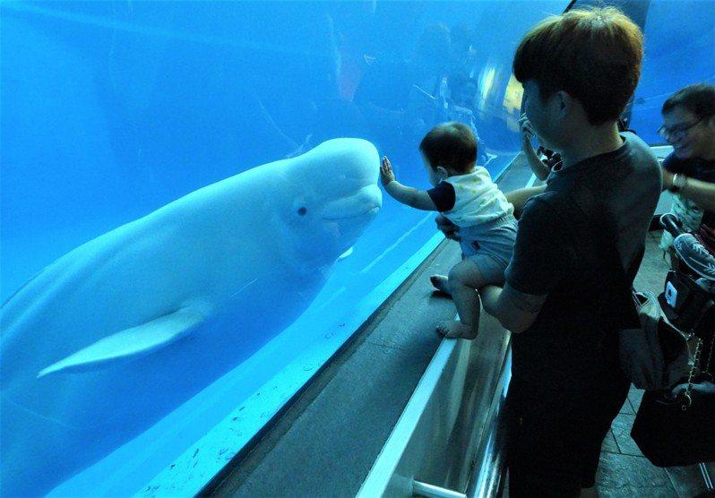 屏東海生館自極地海域引進的白鯨,模樣可愛又親人,一直是館中的明星動物。 記者潘欣中/攝影