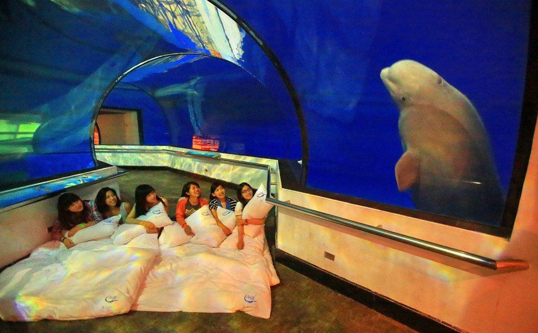 白鯨與在夜宿屏東海生館的遊客互動。 圖/海生館提供