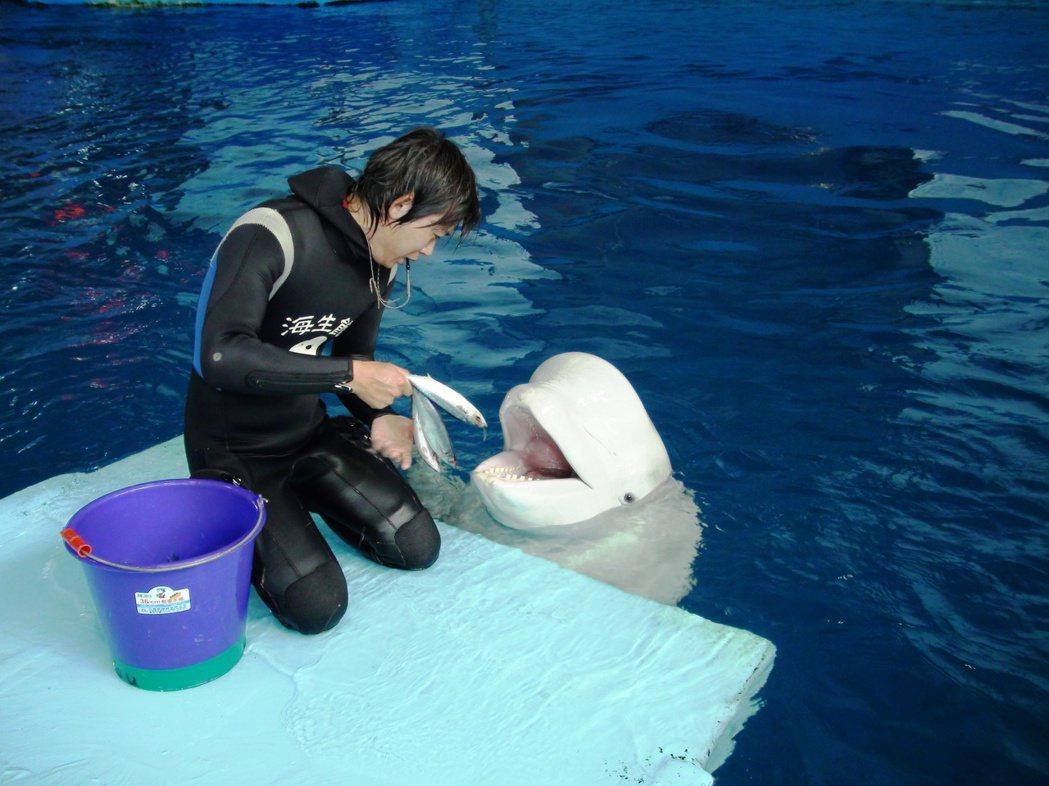 屏東海生館飼育員藉由平時的互動訓練,順便觀察白鯨的身體和口腔健康狀況。 圖/海生...