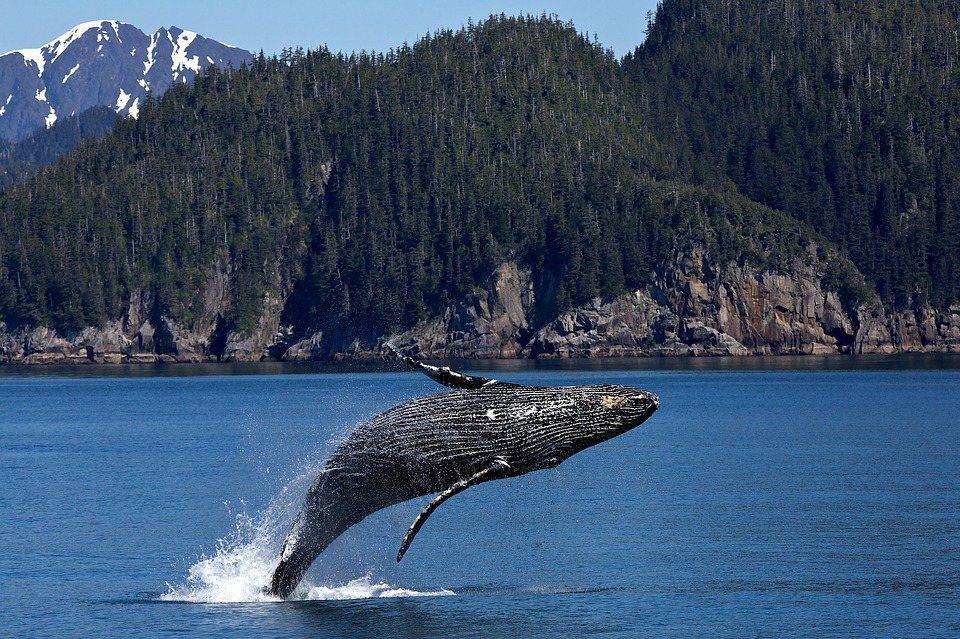 多位專家學者聯合撰文指出,「緩解氣候危機有天然神器:鯨魚」。 圖/摘自Pixab...