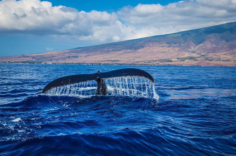 鯨魚們終其一生不停在體內累積碳,死後沉入海底。每條大鯨平均保存33噸二氧化碳,並...