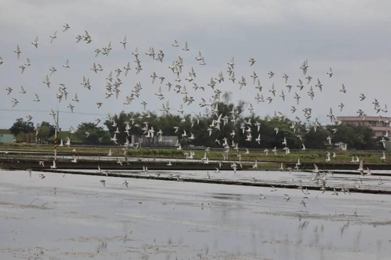 宜蘭縣壯圍鄉的新南村休耕田營造友善水鳥的棲地環境,今年350隻黑腹濱鷸度冬,飛出一朵朵「鳥雲」。圖/林務局羅東林區管理處提供
