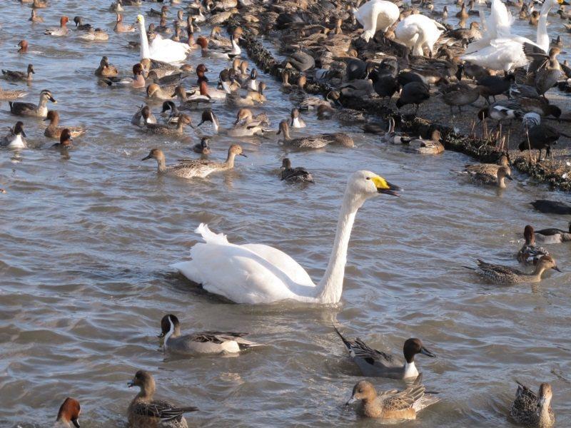 新潟瓢湖百鳥壯觀,每年冬天都有數千隻白鳥飛來此地過冬。 圖/章淑曼攝影