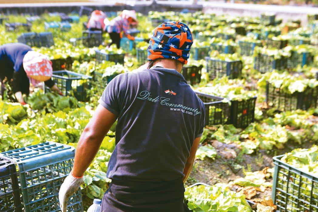 從工廠、雇主家中逃離的移工,卻意外撐起缺工嚴重的台灣農業。 記者鐘聖雄/攝影