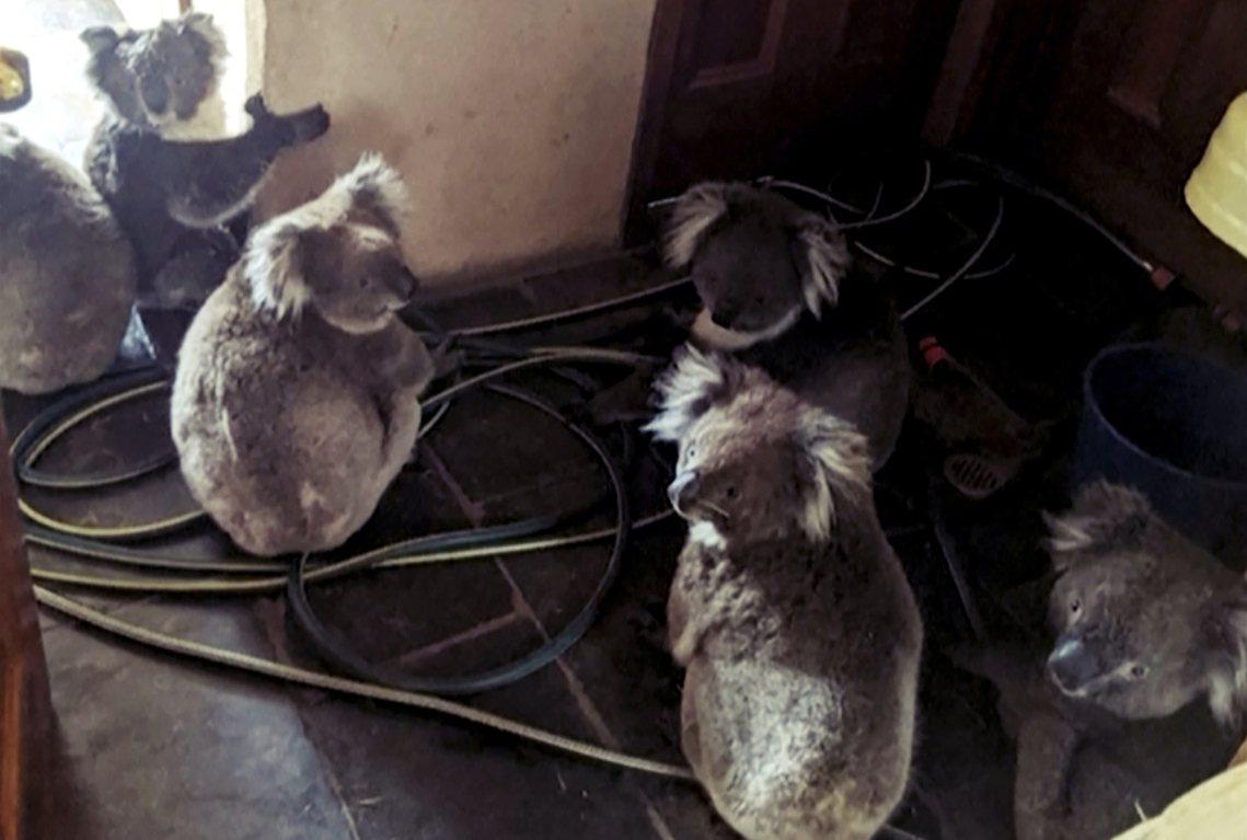 雖然澳洲無尾熊的整體數量「仍在安全範圍」;但近30年來,各地的族群數量都有明顯、...