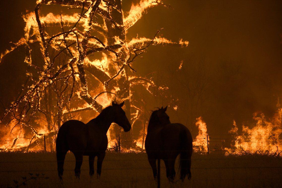 除了無尾熊,許多野生物種同樣遭受野火與極端氣候的威脅。 圖/歐新社