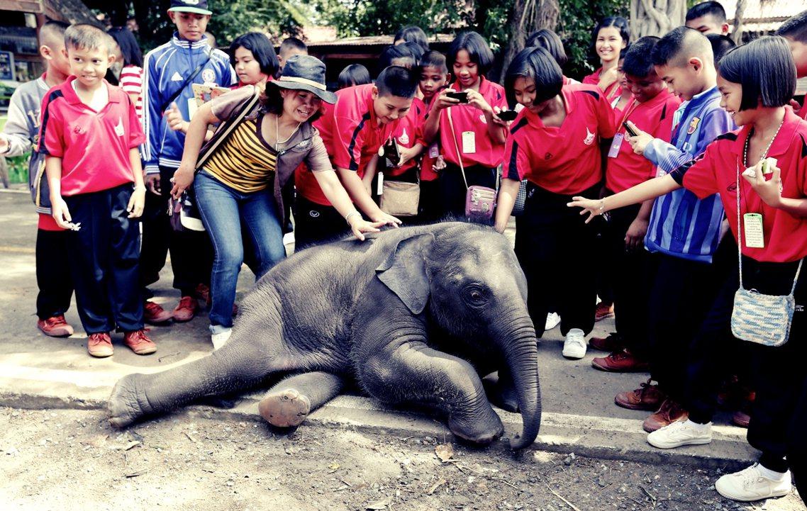 泰國許多豢養大象,是透過非法捕抓得來,並且多半是2歲左右的幼象,以便馴服。圖為位...