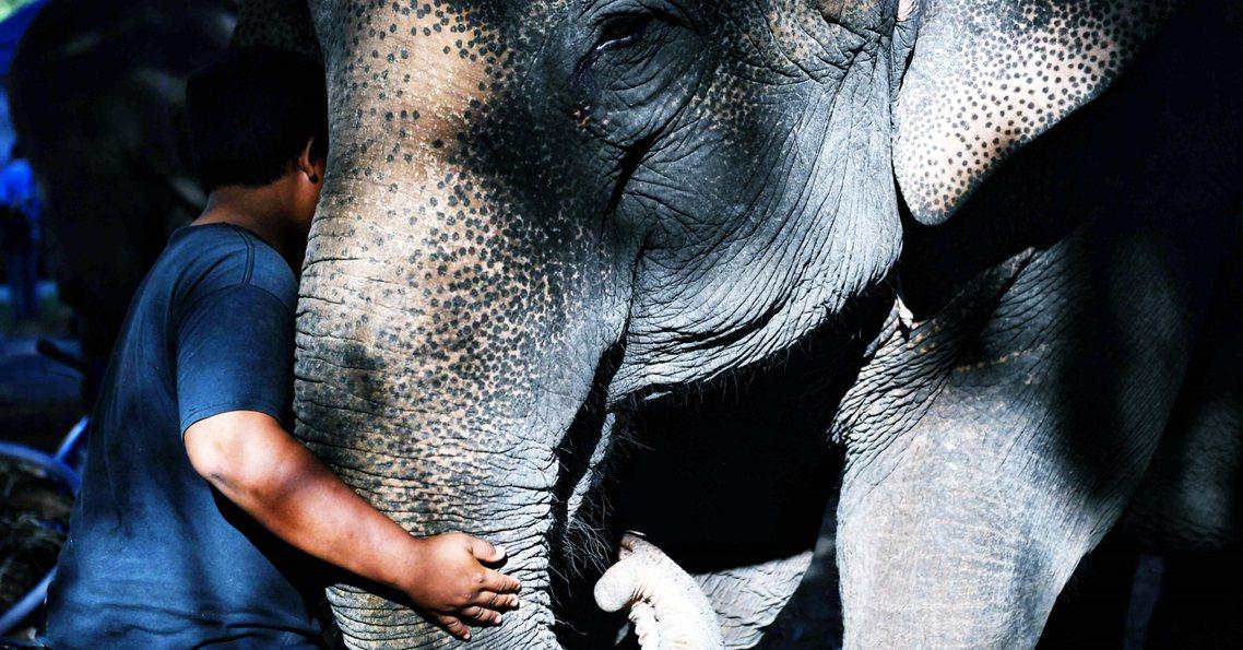 泰國的「大象觀光」,在抵制騎乘大象、觀賞大象表演下,近年來出現另一波新一波觀光模...
