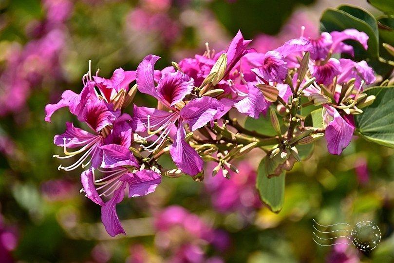 豔紫荊花開得正燦爛。
