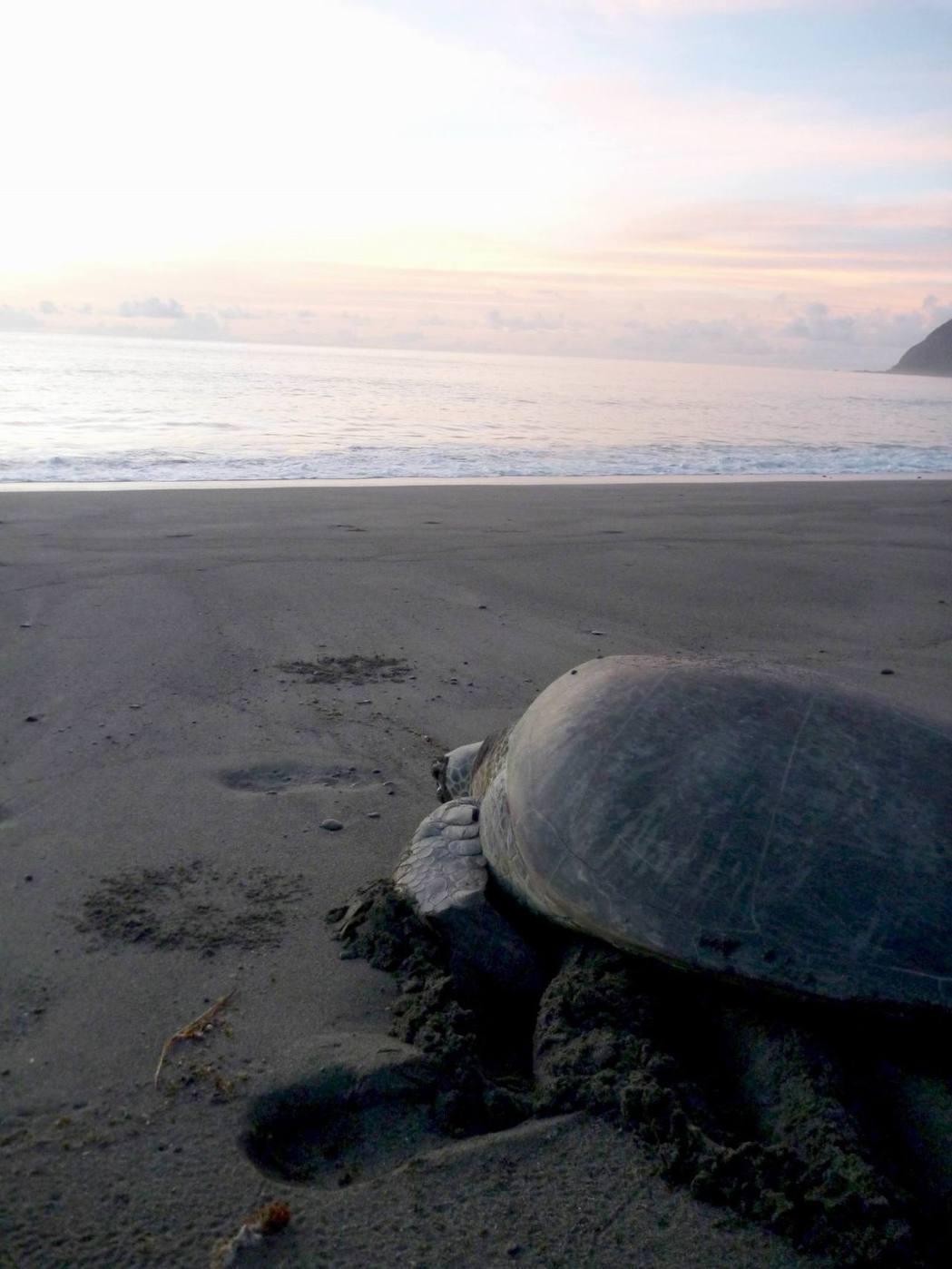 國立台灣海洋大學海洋生物研究所教授程一駿研究團隊根據觀察紀錄,發現蘭嶼上岸產卵海...