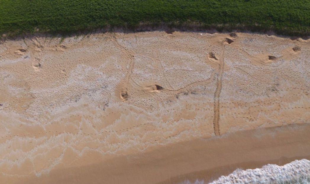 澎湖望安島綠蠵龜繁殖保護區產卵母龜爬痕及在沙灘上挖洞分布,顯示產卵母龜無法爬越沙...