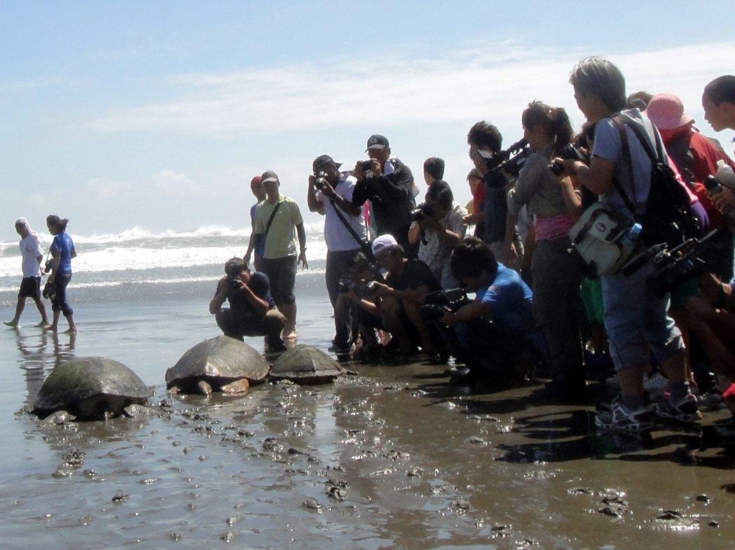 台東縣政府農業處每隔幾年就會舉辦海龜野放活動,也對參與的國中小學生做保育宣導。圖...
