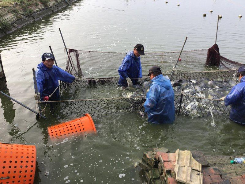 嘉義縣因天氣暖和無寒害,養殖大宗台灣鯛盛產,農委會啟動收購台灣鯛產銷調節措施。圖/縣府提供