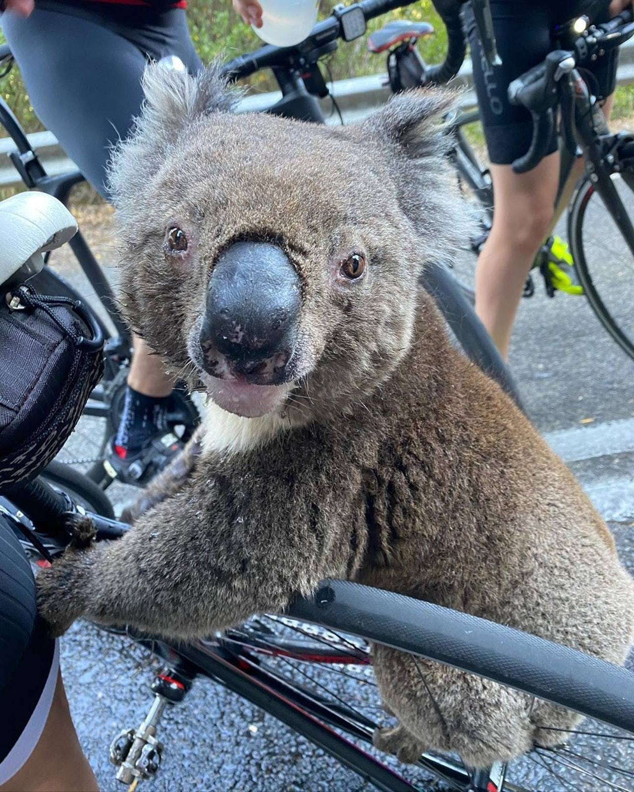 安娜之後將影片上載到IG,引起不少網民關注樹熊的情況。 bikebug2019 ...