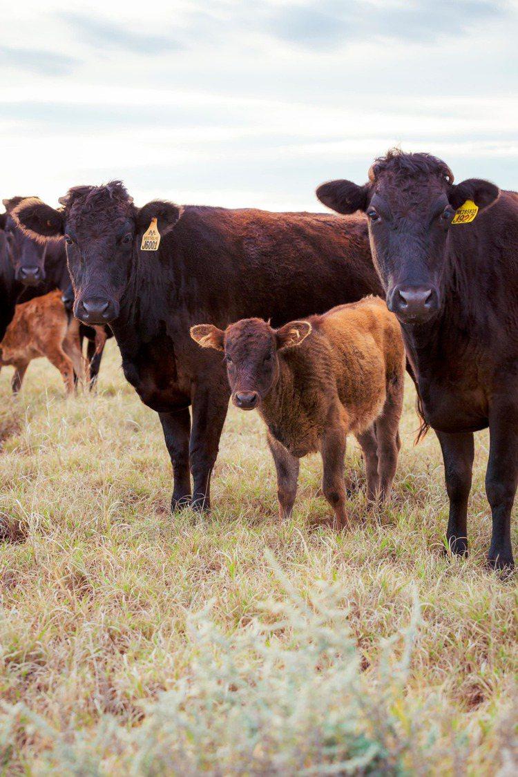 Westholme澳洲和牛肉質軟嫩,口感如奶油般絲滑鮮甜。圖/Westholme...