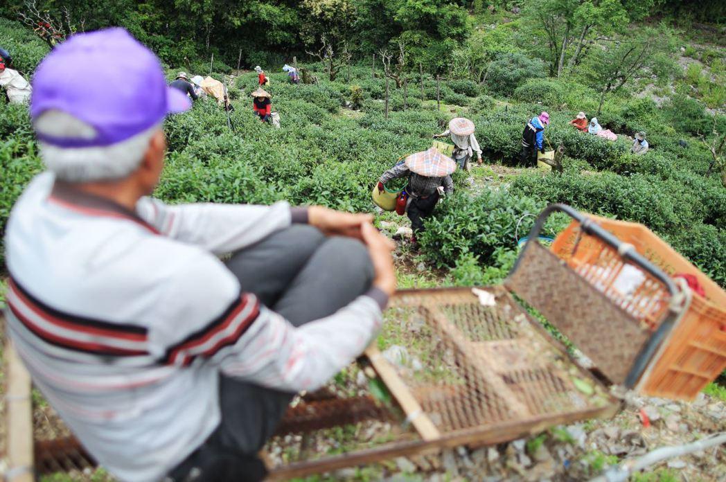 茶園主人帶領一班非法移工採收茶葉。 圖/聯合報系資料照
