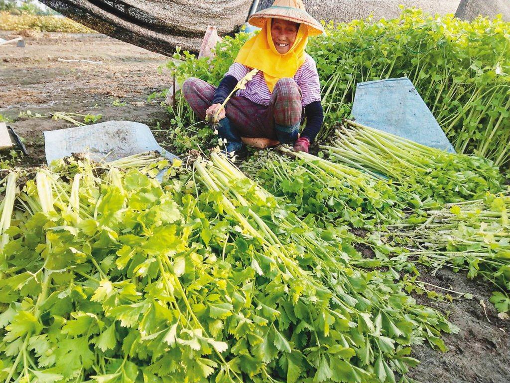 屏東縣新園鄉菜園種植的芹菜。圖/中央社