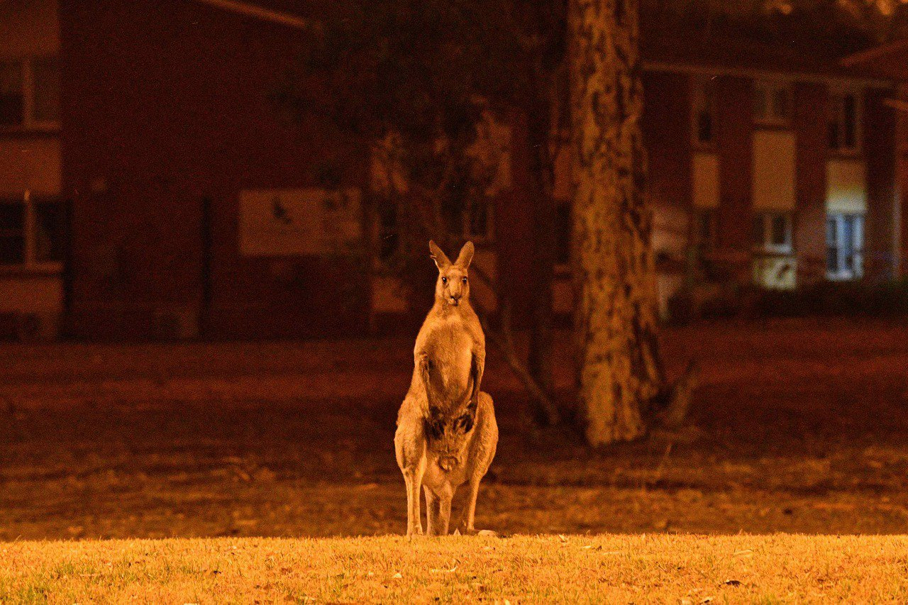 澳洲野火災情擴大,新南威爾斯省諾拉鎮的一頭袋鼠站在街頭,對著火光發愣。(法新社)