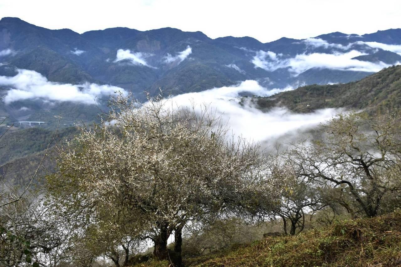 每年的1月期間,高雄六龜竹林休閒農業區正值梅花綻放時期,幾百公頃的梅花盛開非常壯...