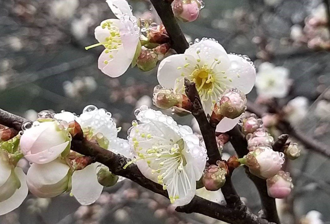 高雄六龜竹林休閒農業區梅花盛開。 圖/謝梅芬翻攝