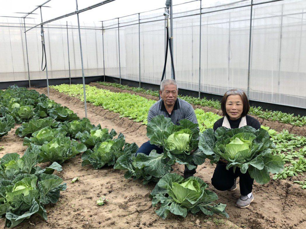 陳國富、許明麗夫婦種出不少安全無毒的蔬果,成為金門唯一一家固定供應給學校蔬果的農...