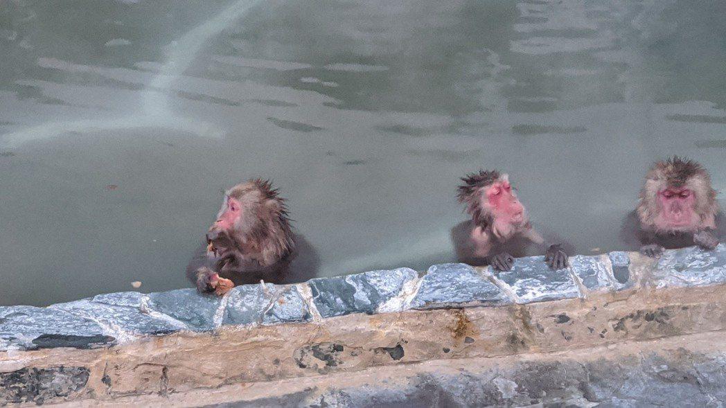 邵雨薇鏡頭下的猴子泡溫泉吃水果。圖/多曼尼提供