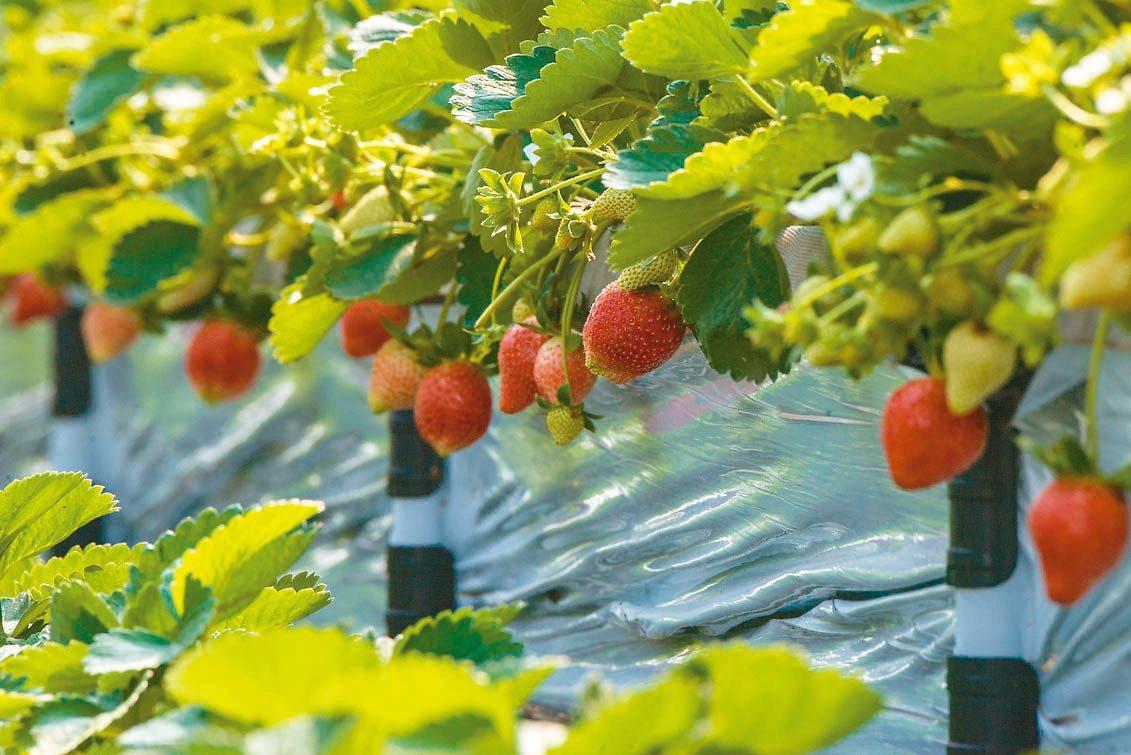 觀音蓮花園休閒農業區新增草莓溫室,採立式種植,方便遊客採果體驗。 圖/桃園市政府...