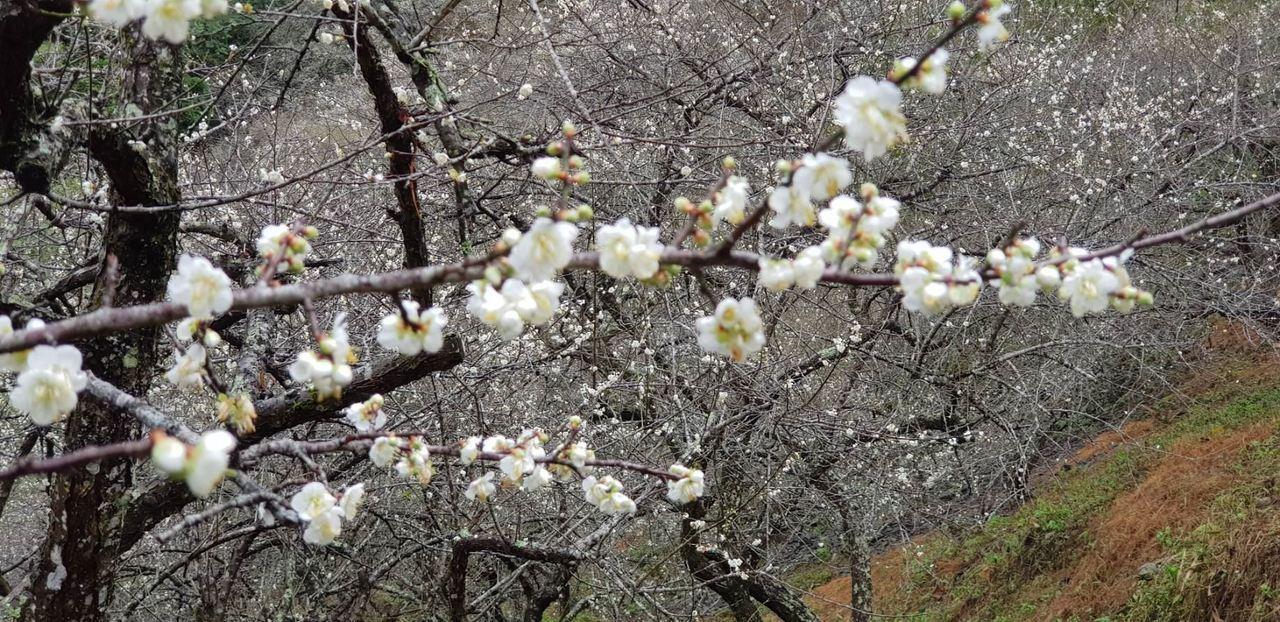 高雄六龜寶來山區的梅花盛開。圖/六龜區公所提供