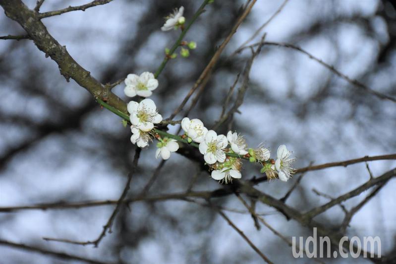 嘉義縣梅山公園的梅花日前已陸續開花,隨手都能拍到純白色的梅花。記者陳玫伶/攝影