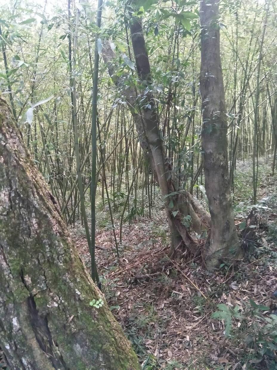 明道胞兄林男涉嫌在竹林間殺害妻小,再上吊自縊。圖/民眾提供