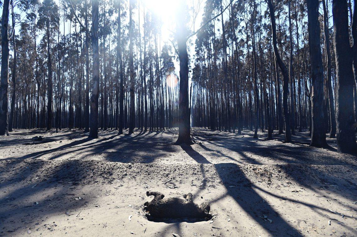 圖為在火線邊緣死亡的無尾熊。 圖/歐新社