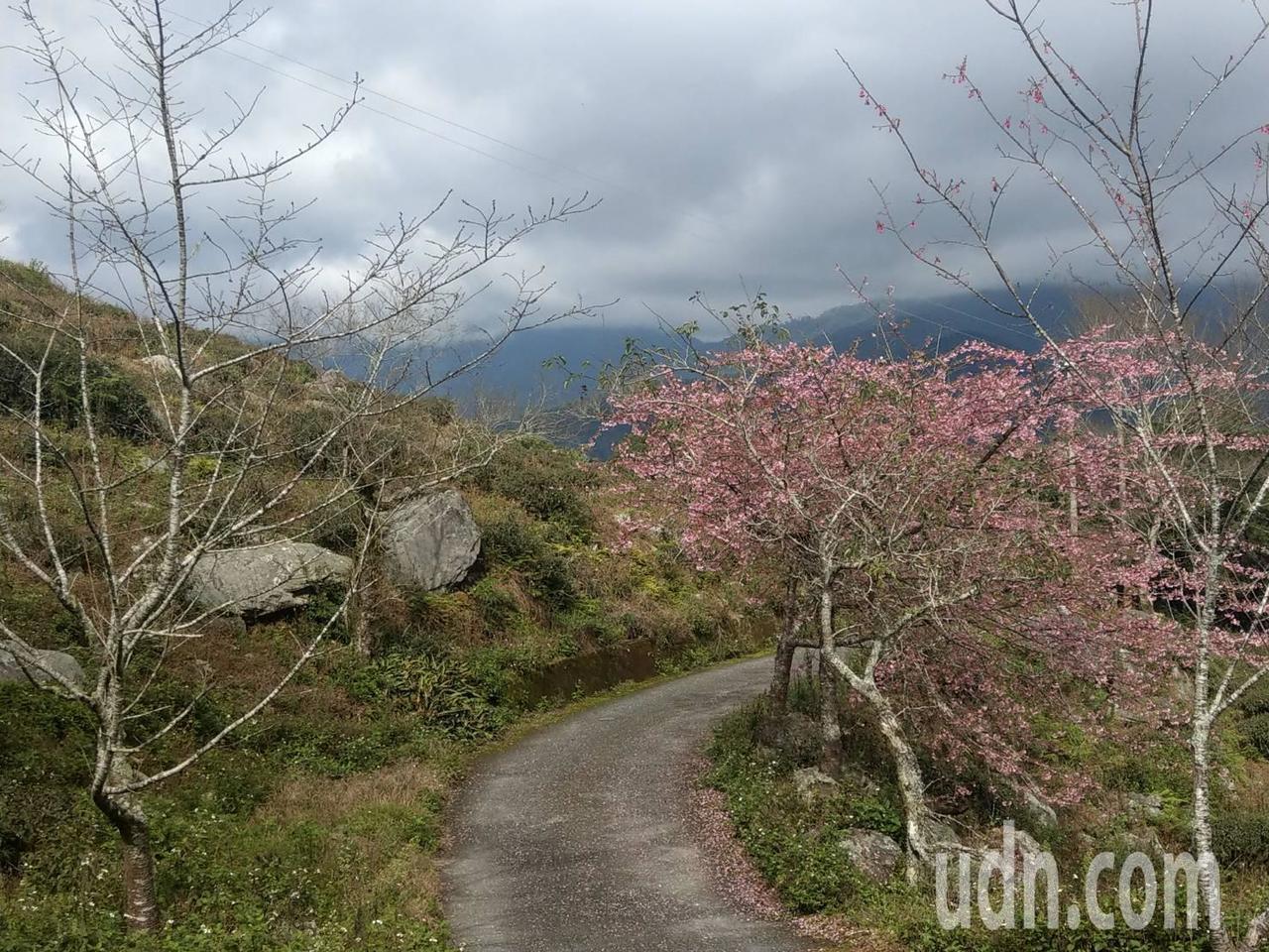 金針山望幽谷和雙乳峰較高山區的櫻花開了,民眾可以開始上山賞櫻。記者尤聰光/攝影