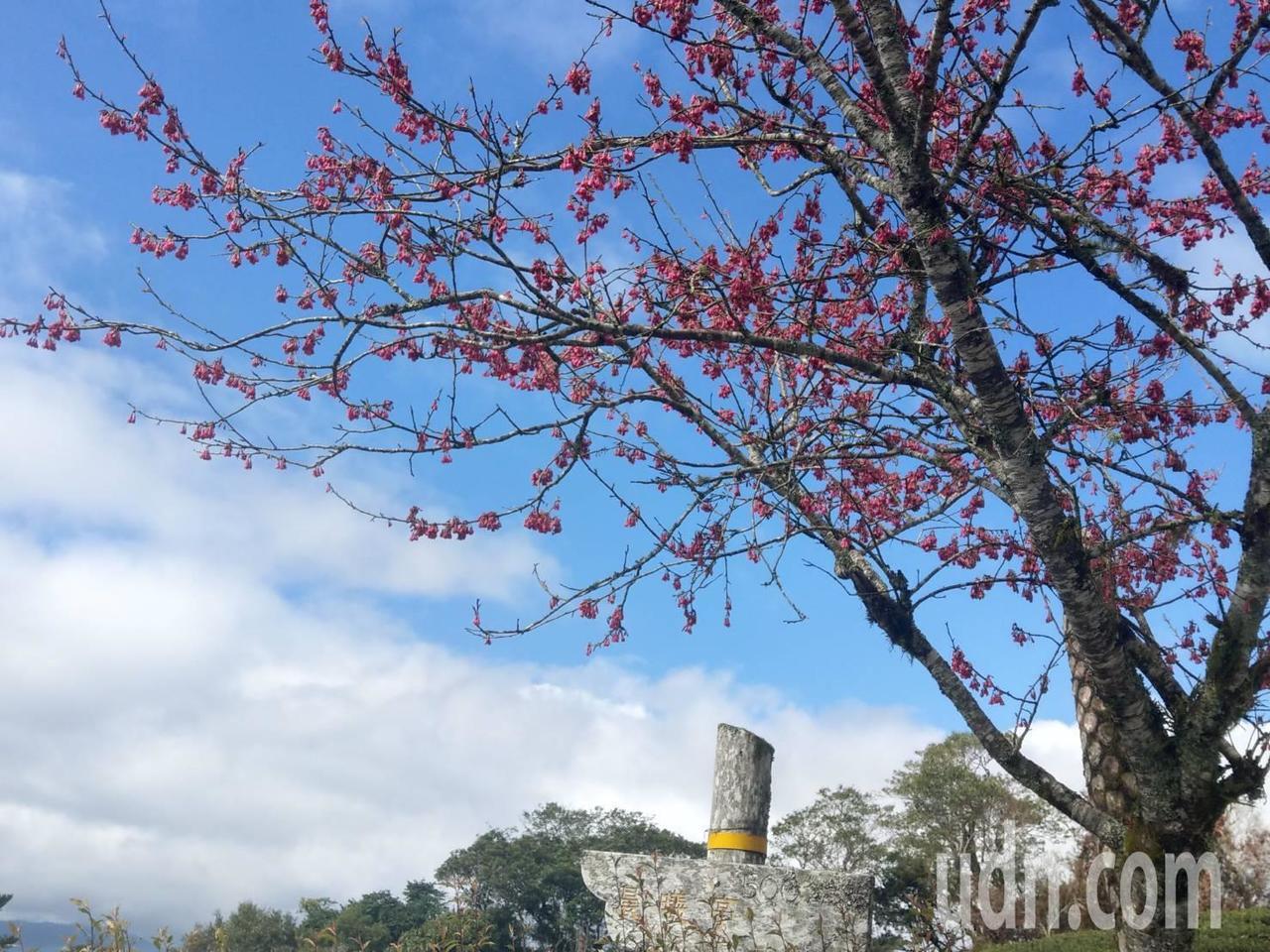 台東南迴唯一的賞櫻景點太麻里金針山,目前山區櫻花已陸續開花,粉色、桃紅色花朵在山...