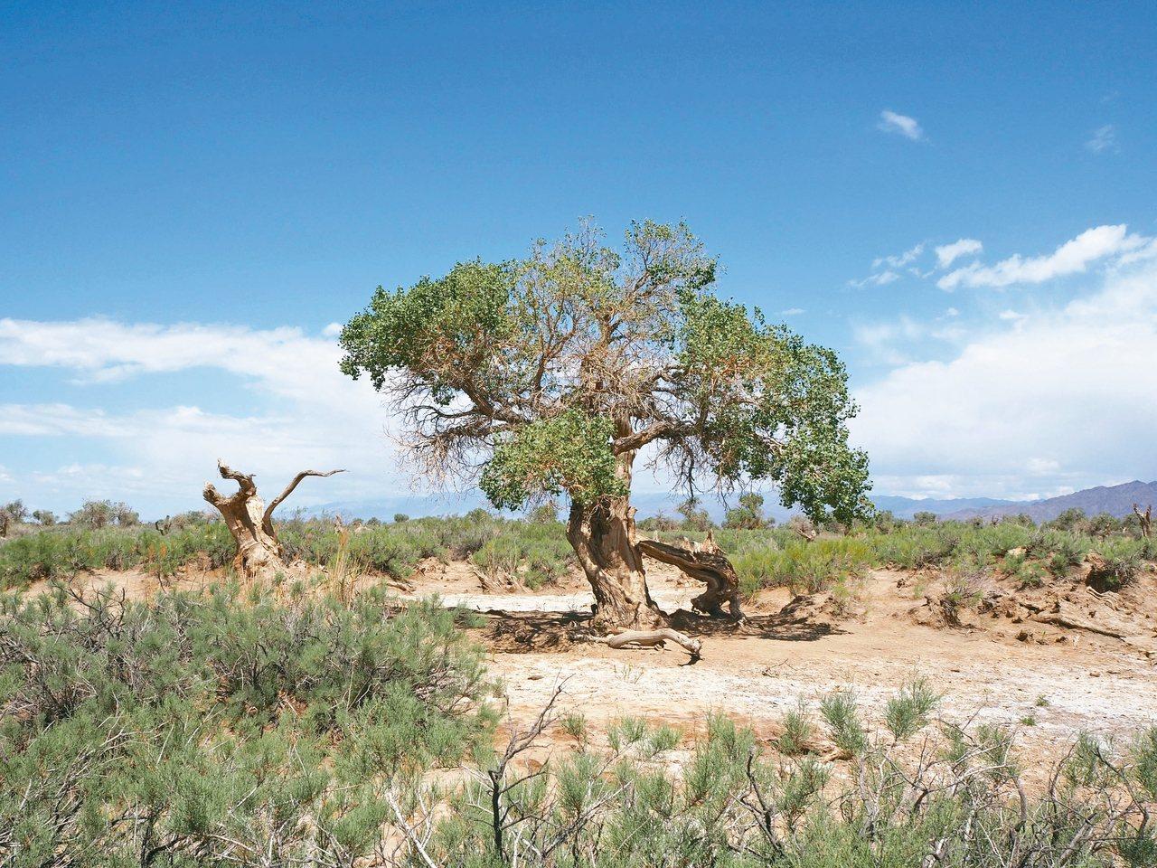 木壘胡楊林是世界上最古老的原始胡楊林。 記者羅建怡/攝影