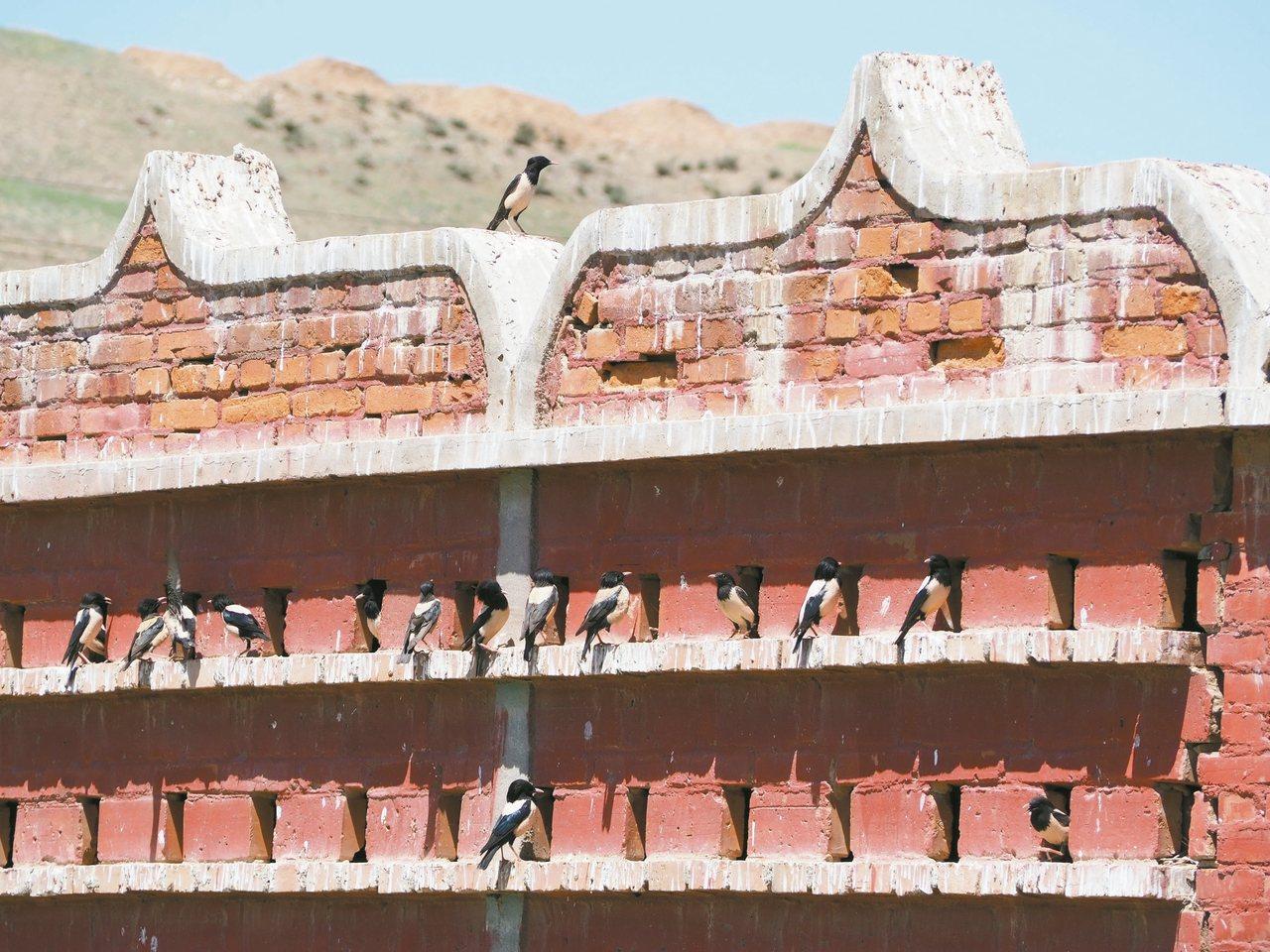 粉紅椋鳥的「育嬰房」。 記者羅建怡/攝影