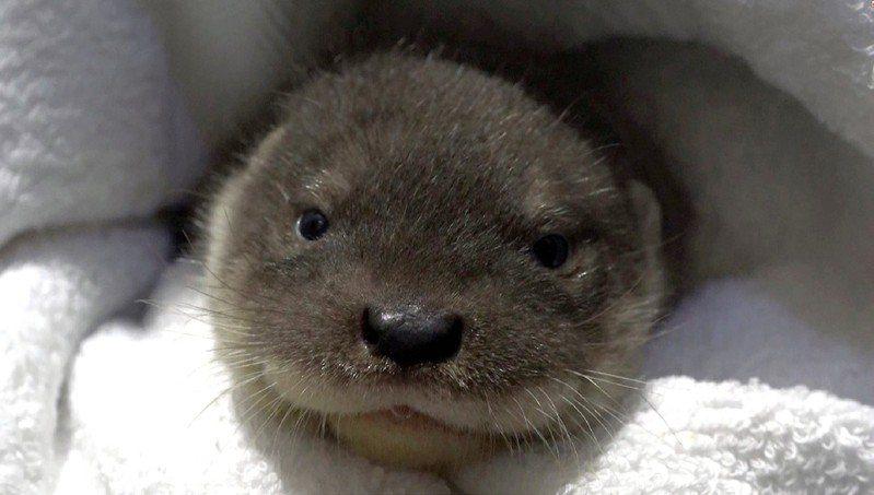 北市動物園歐亞水獺寶寶「青嶼」因病夭折,可愛模樣留在民眾心中。圖/台北市立動物園提供