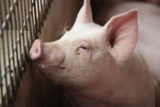 大陸去年12月豬肉價格飆升97%。(取自信報財經新聞)